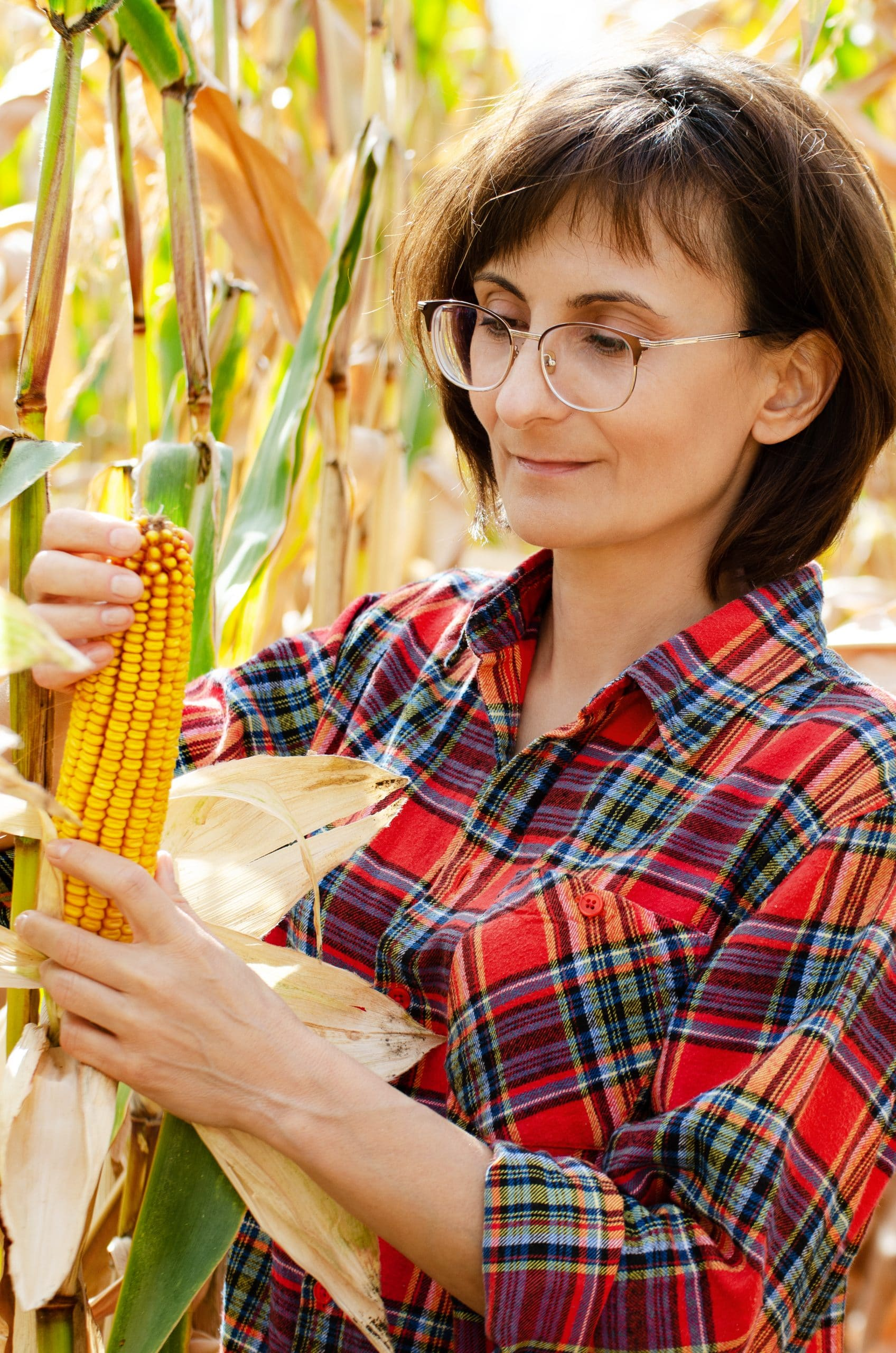 Middle age brunette caucasian female farm worker in glasses inspecting corn cobs at field sunny summer day